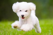 Fluffy-White-dog.jpg